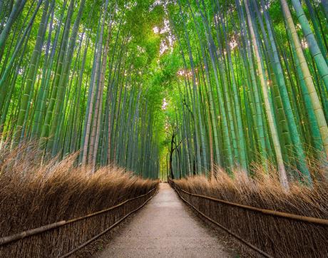 Tỉnh Kyoto - Rừng Tre Arashiyama